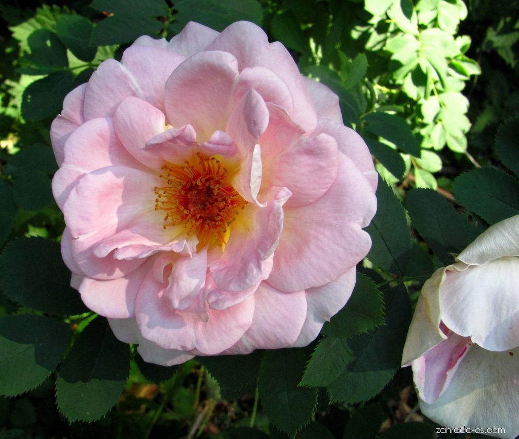 Park Buchlovice - Růže