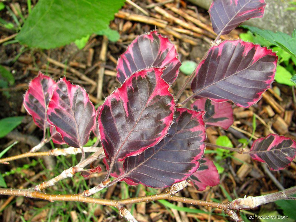 Buk obecný - purpurea tricolor (Fagus sylvatica)