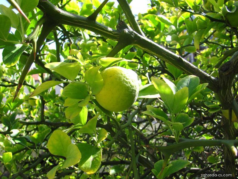 Citronečník trojlistý (Poncirus trifoliata)