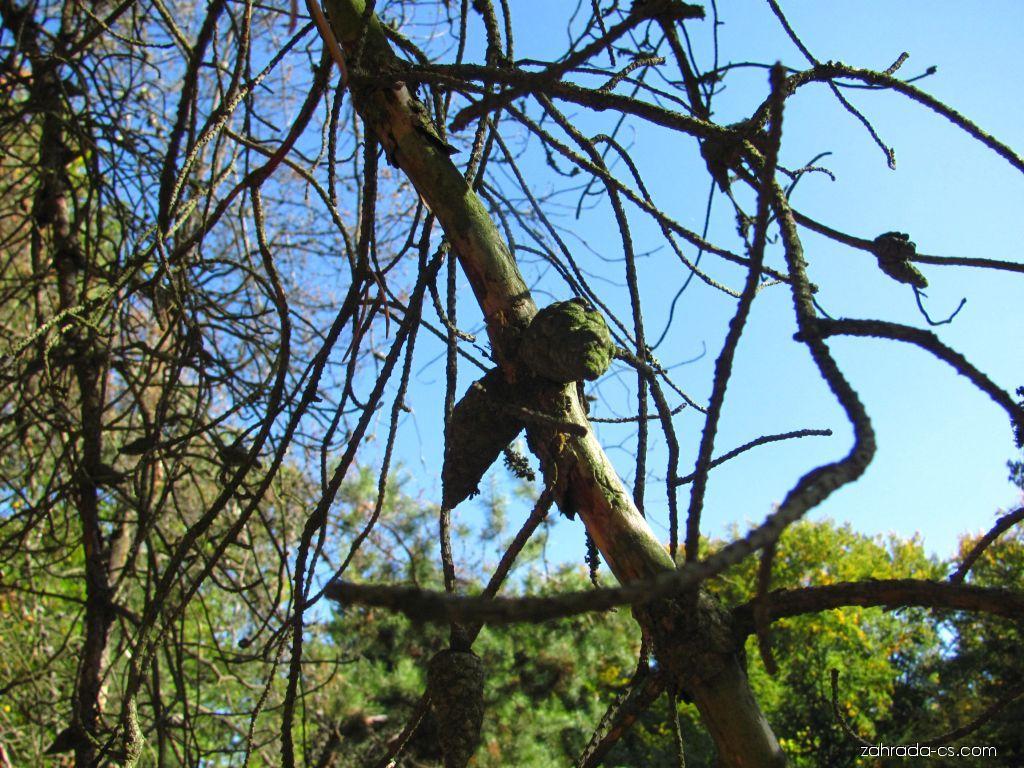 Borovice Banksova (Pinus Banksiana)