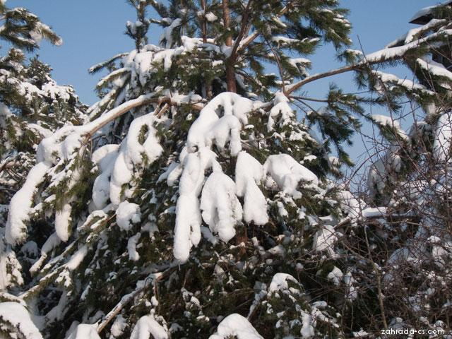 Borovice - větve v zimě (Pinus)
