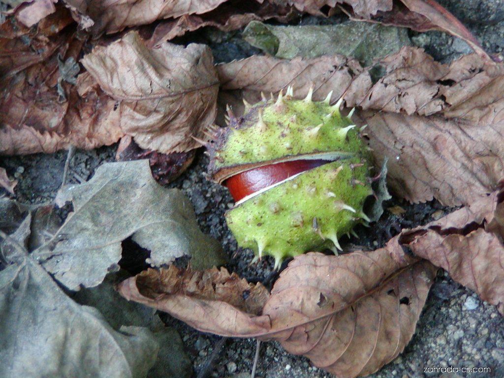 Jírovec maďal - Aesculus hippocastanum