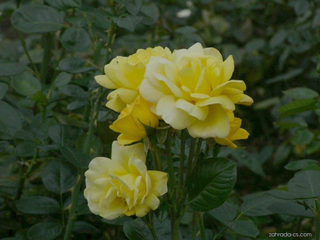 Růže - Rosa Arthur Bell