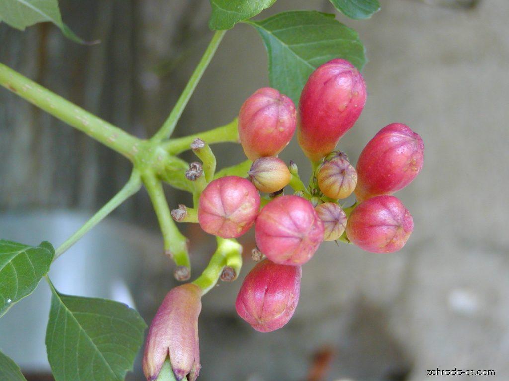 Křivouš kořenující - Campsis radicans
