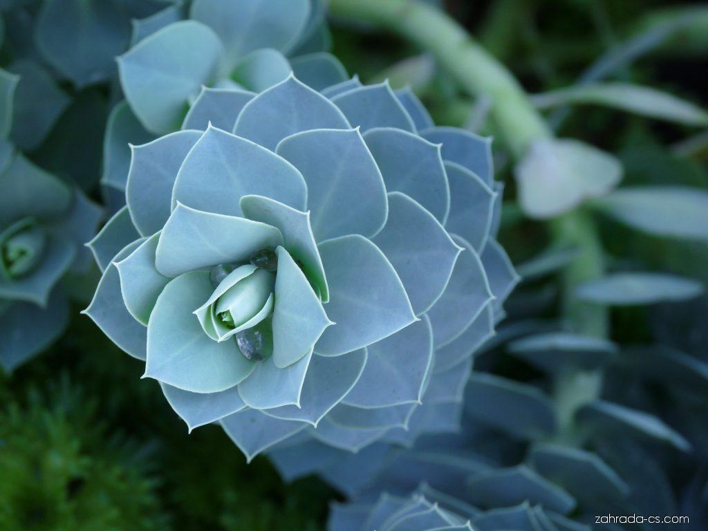Pryšec myrtovitý (Euphorbia myrsinites)