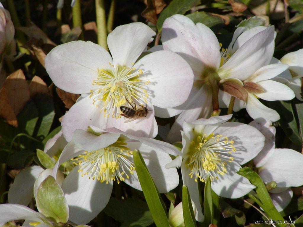 Čemeřice černá - Helleborus niger