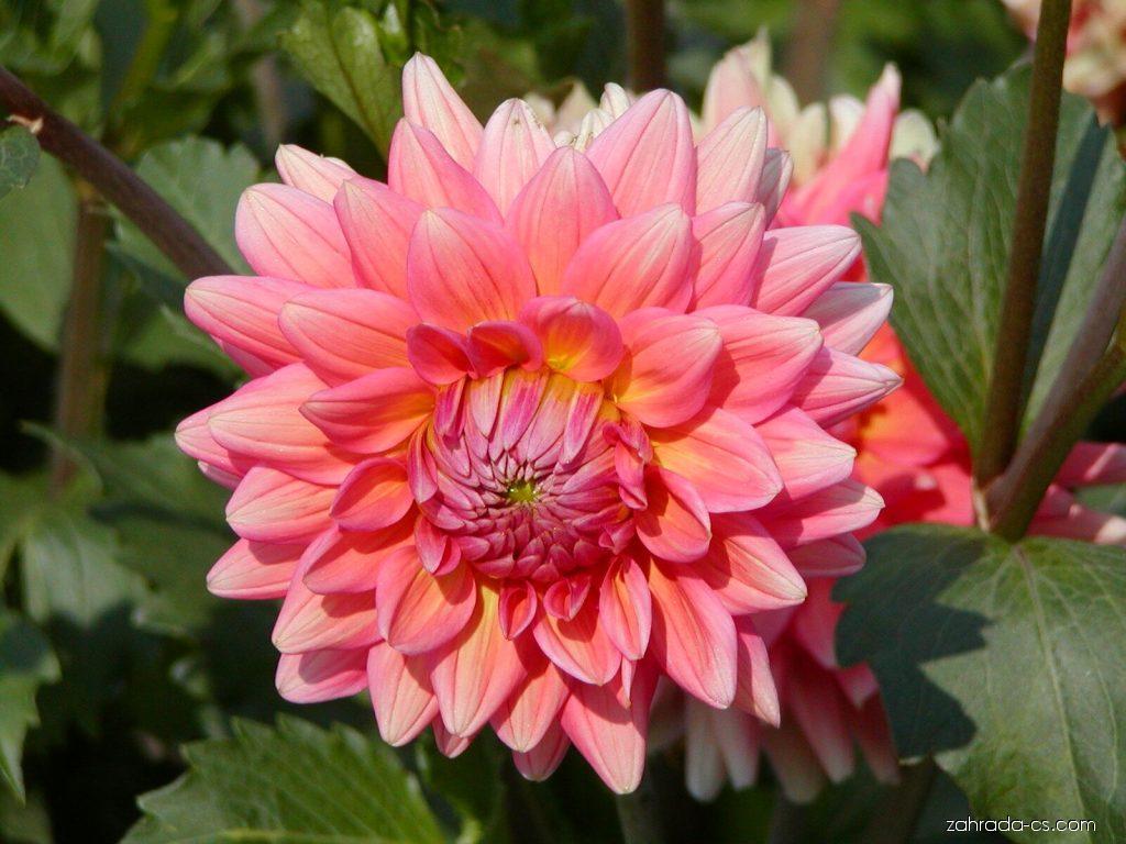 Jiřina zahradní - Dahlia pinnata
