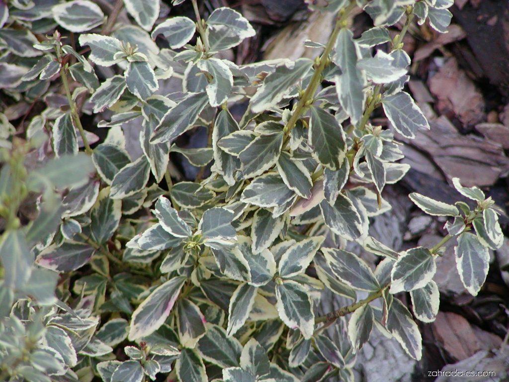 Brslen Fortuneův - Euonymus fortunei Emerald Gaiety