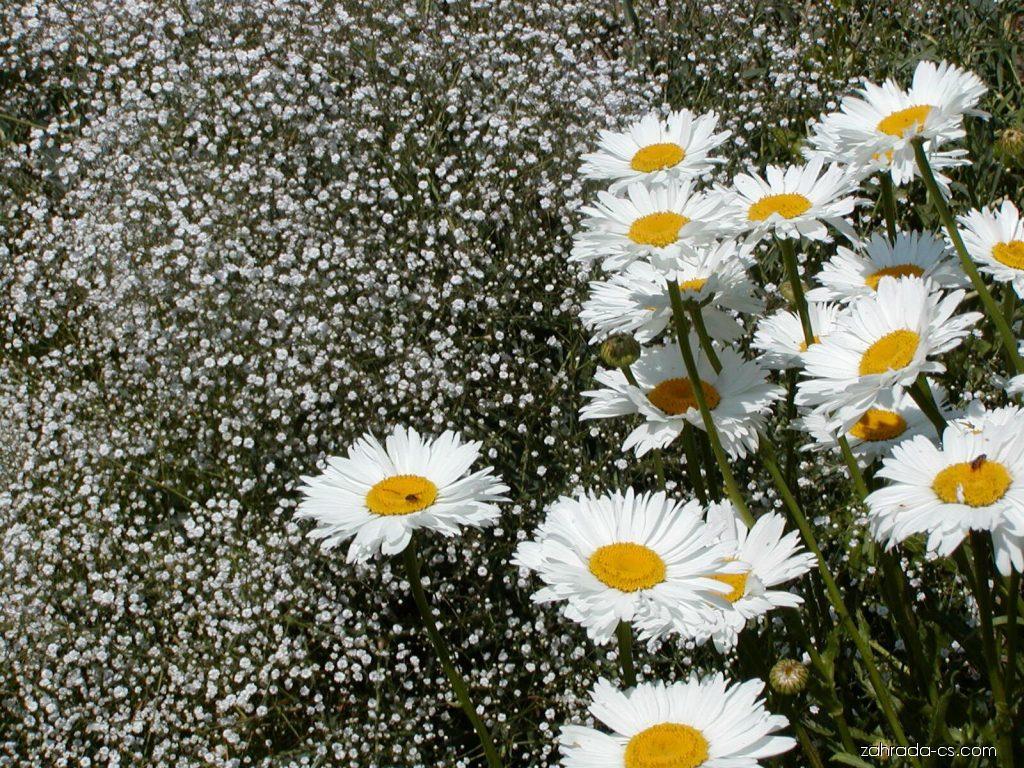 Kopretina velkokvětá - Leucanthemum maximum