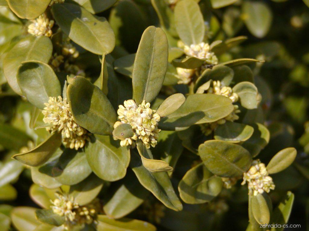Zimostráz vždyzelený - Buxus sempervirens Suffruticosa