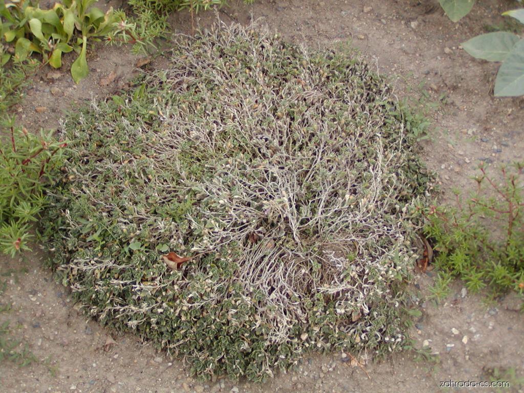 Tařička kosníkovitá - Aubrieta deltoidea