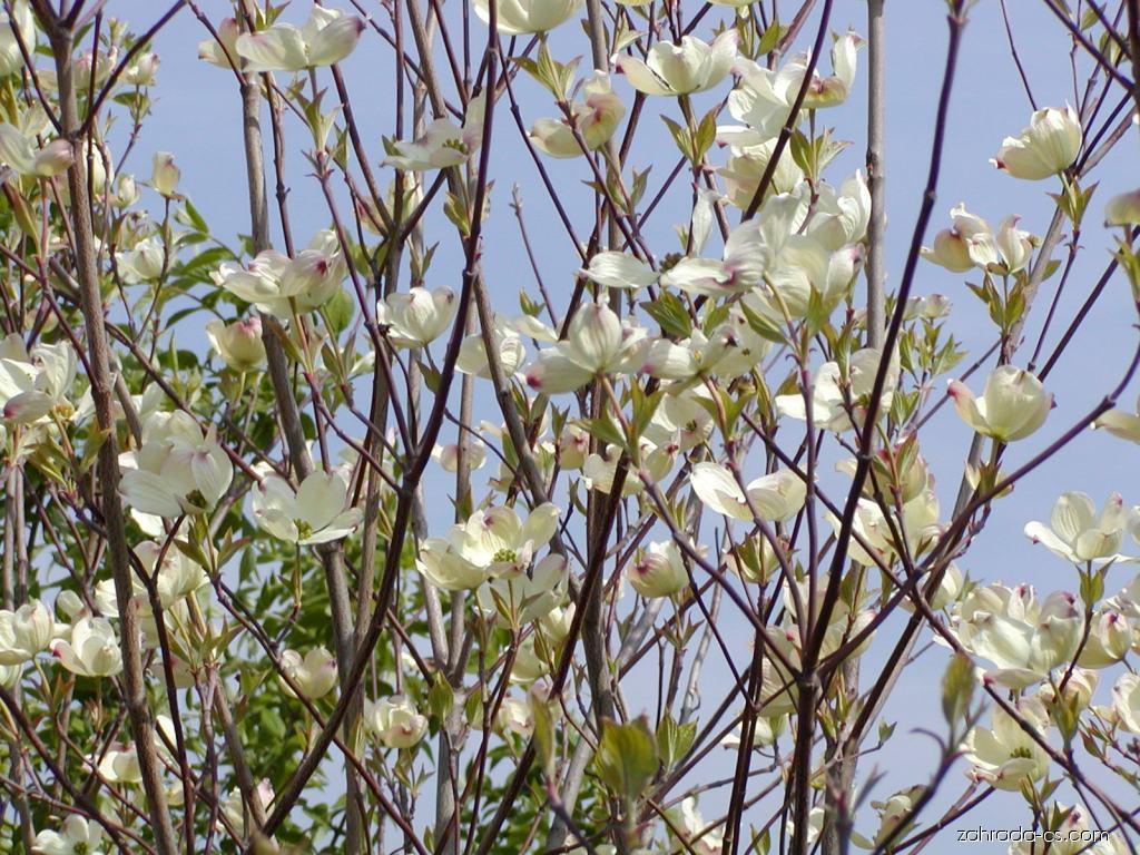 Dřín květnatý - Cornus florida