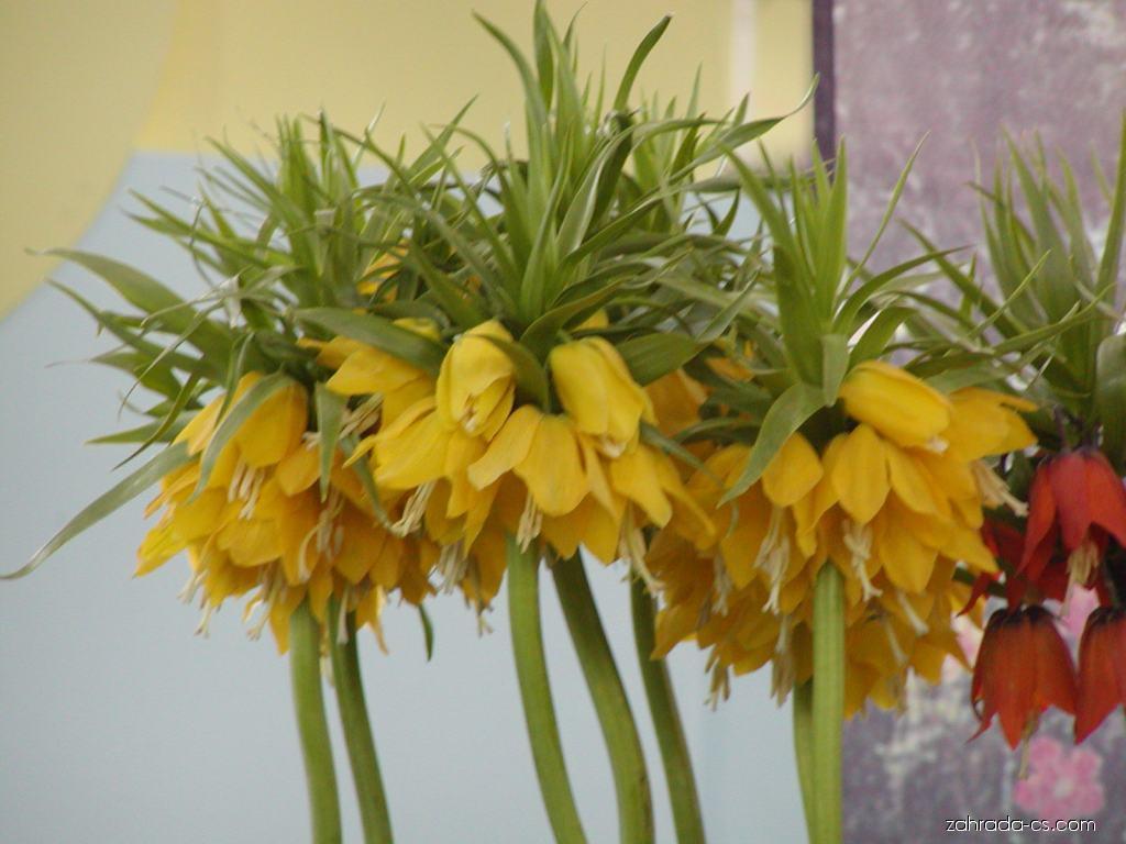 Řebčík královský - Fritillaria imperialis Lutea