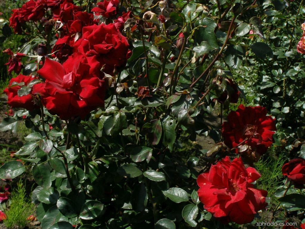 Růže - Rosa Le Rouge et Le Noir