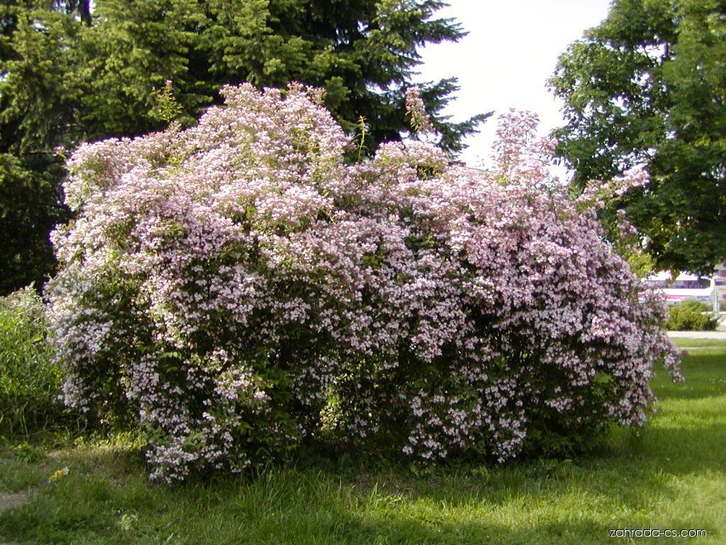 Kolkvicie krásná - Kolkwitzia amabilis