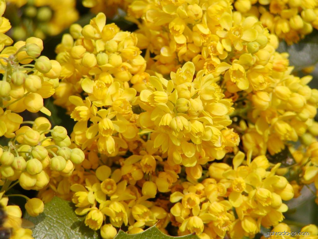Mahónie cesmínolistá - Mahonia aquifolium