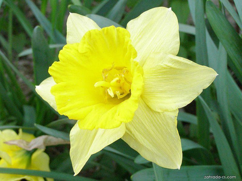 Jaro na zahradě: narcis