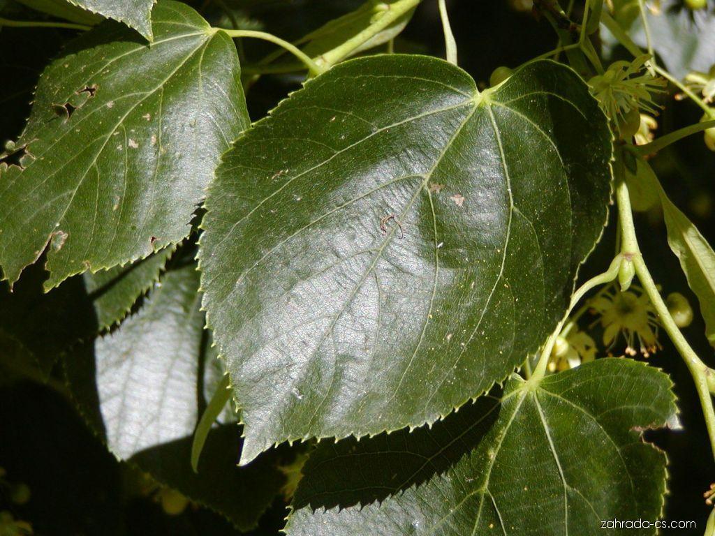 Lípa zelená - Tilia euchlora