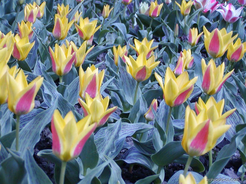 Tulipán - Tulipa Bella Vista