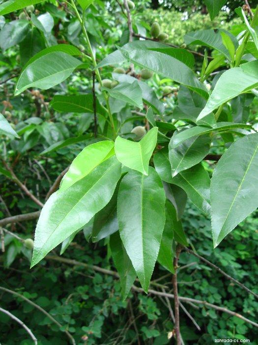 Mandlobroskvoň - listy (Prunus x amygdalopersica)