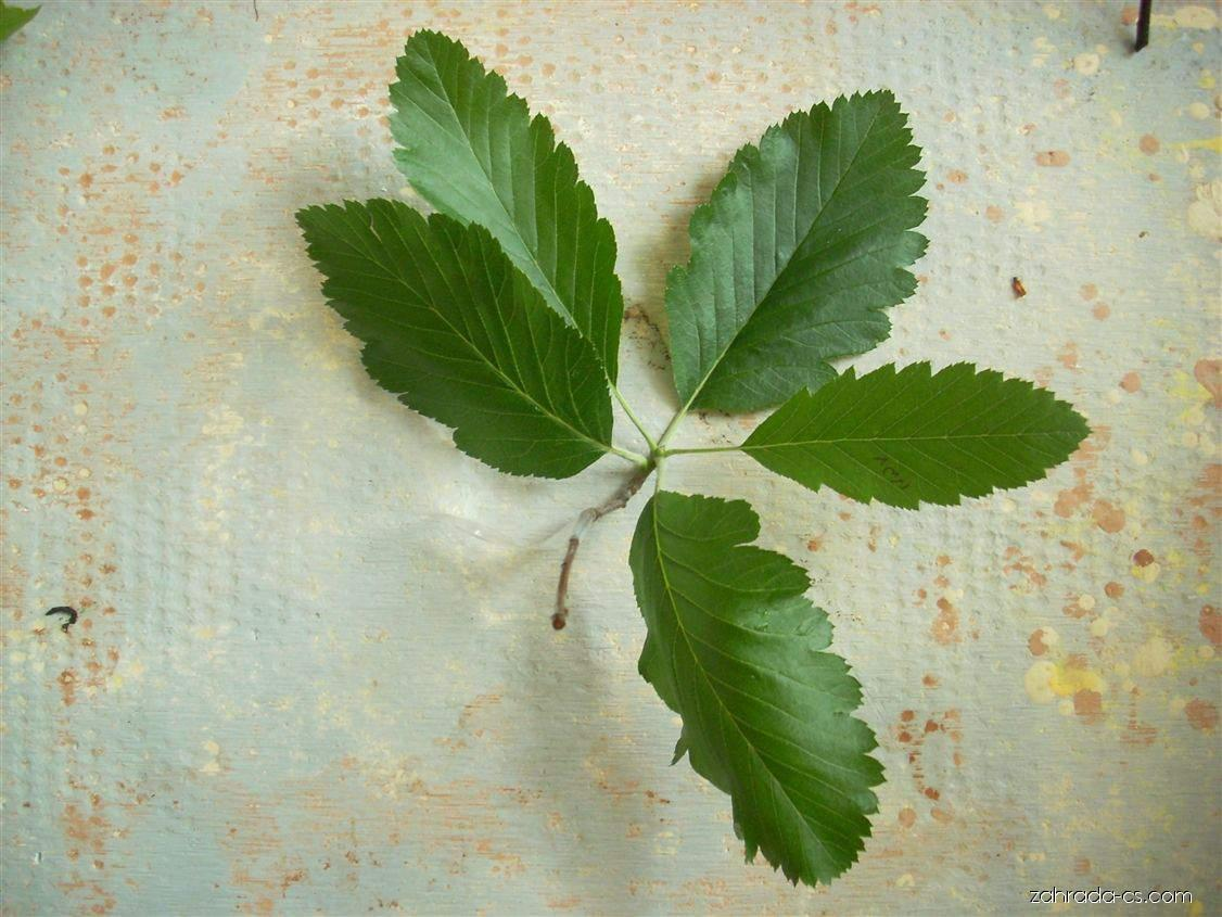 Jeřáb Mougeotův - Sorbus mougeotii
