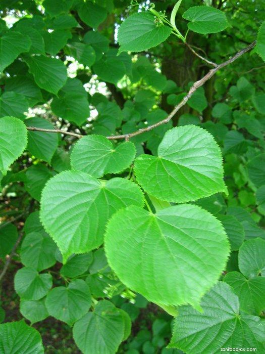 Lípa obecná - listy (Tilia vulgaris)