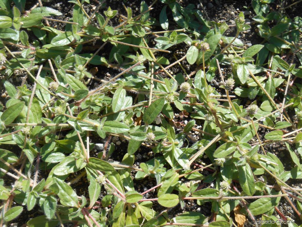 Pestrovka (Gomphrena celosioides)
