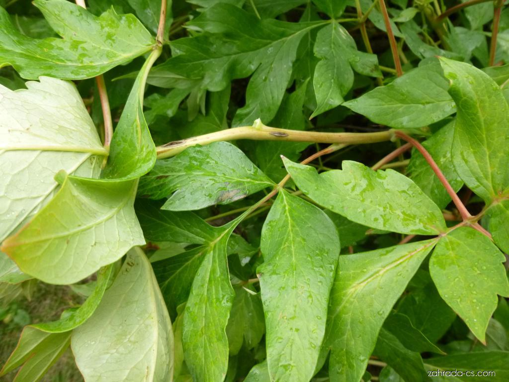 Pivoňka čínská - Paeonia lactiflora