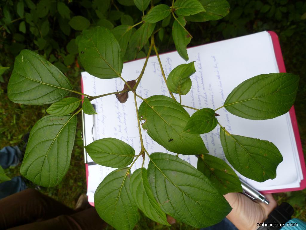 Svída výběžkatá - listy (Cornus sericea)