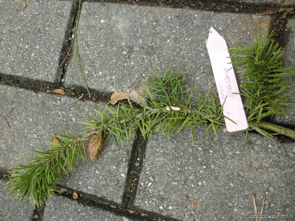 Borovice Banksova - jehlice (Pinus banksiana)