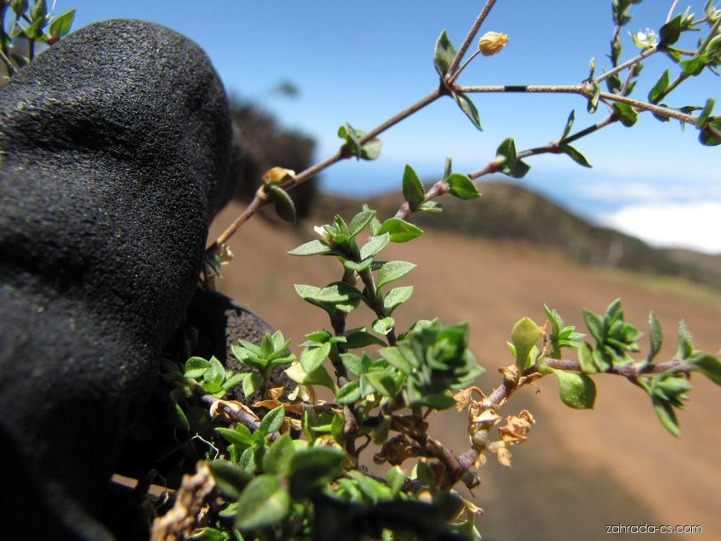 Thymeleaf sandwort - flower and leaves (Arenaria serpyllifolia)