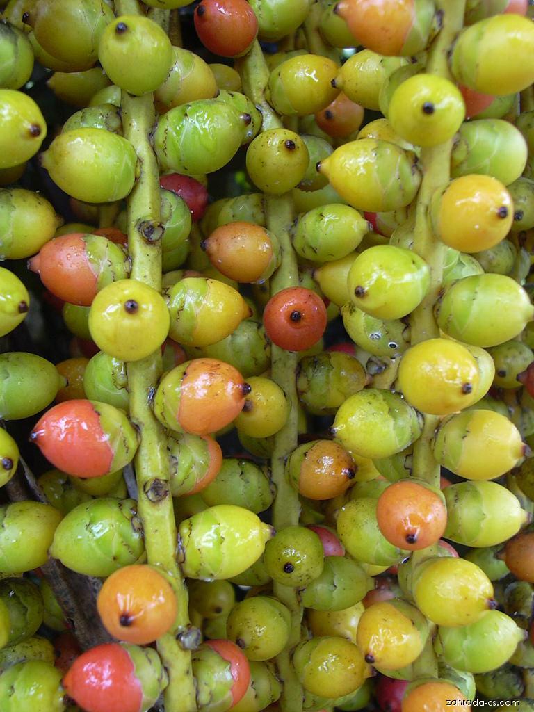 Philippine Dwarf Sugar Palm - fruits (Arenga tremula)