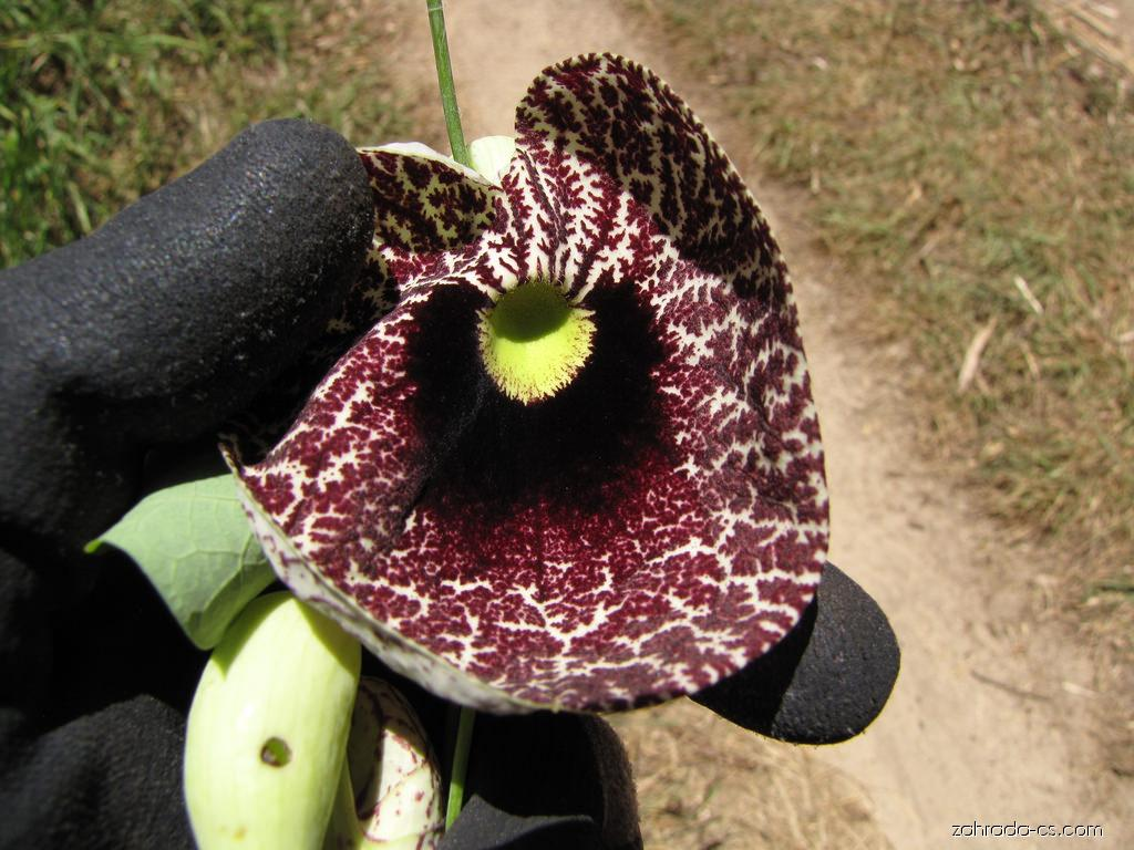 Calico flower - flower (Aristolochia littoralis)