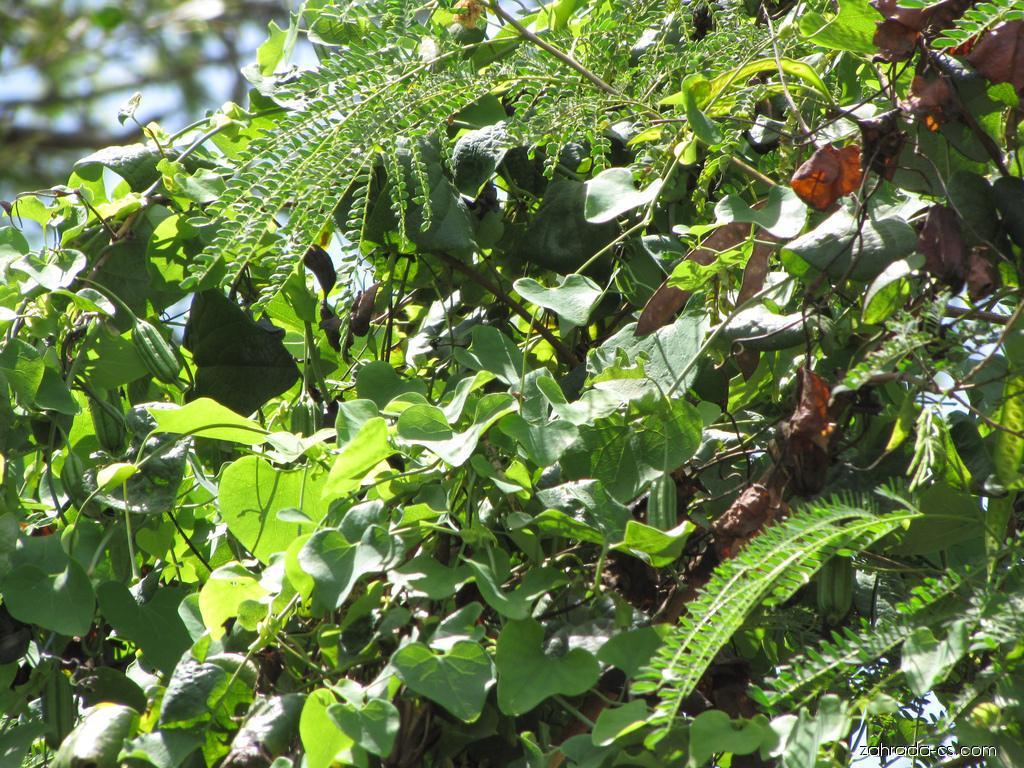 Calico flower - habit (Aristolochia littoralis)