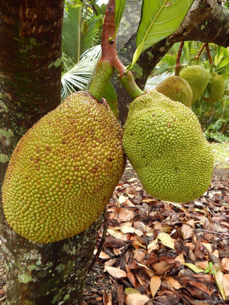 Jackfruit - fruit (Artocarpus heterophyllus)