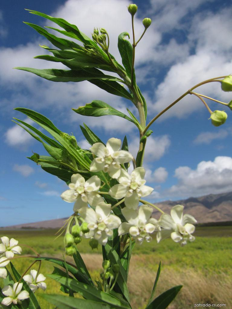 Balloon plant - flowers and leaves (Asclepias physocarpa)