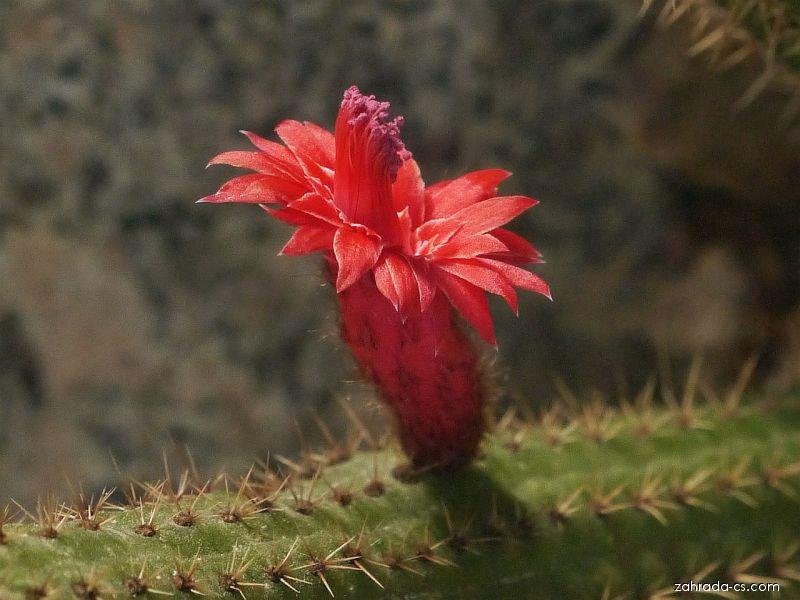 Bolivicereus (Bolivicereus samaipatanus)