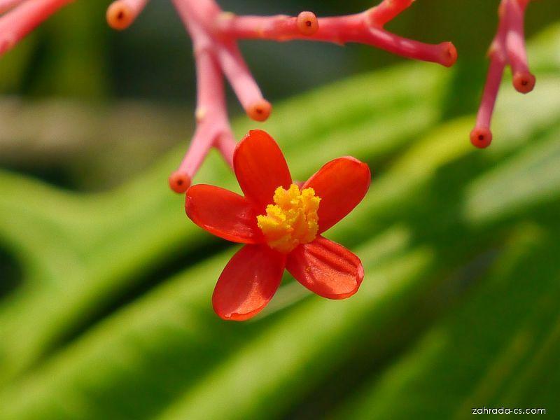 Dávivec mnohadílný (Jatropha multifida)