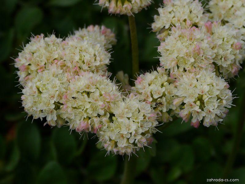 Eriogonum (Eriogonum androsaceum)