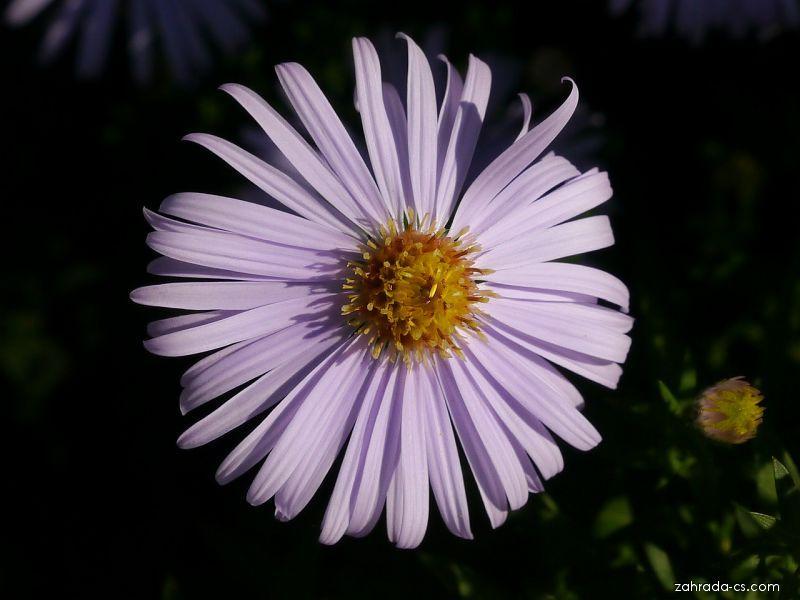 Hvězdnice křovitá Silberteppich (Aster dumosus)