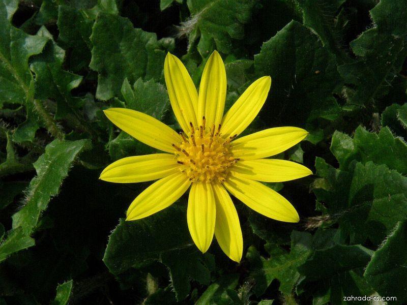 Haplocarpha (Haplocarpha cheilanthifolia)