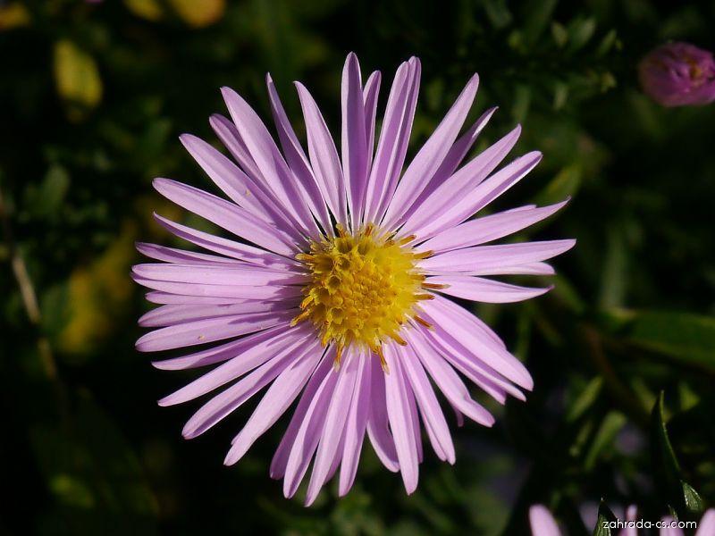 Hvězdnice hustokvětá - Aster dumosus Rozika