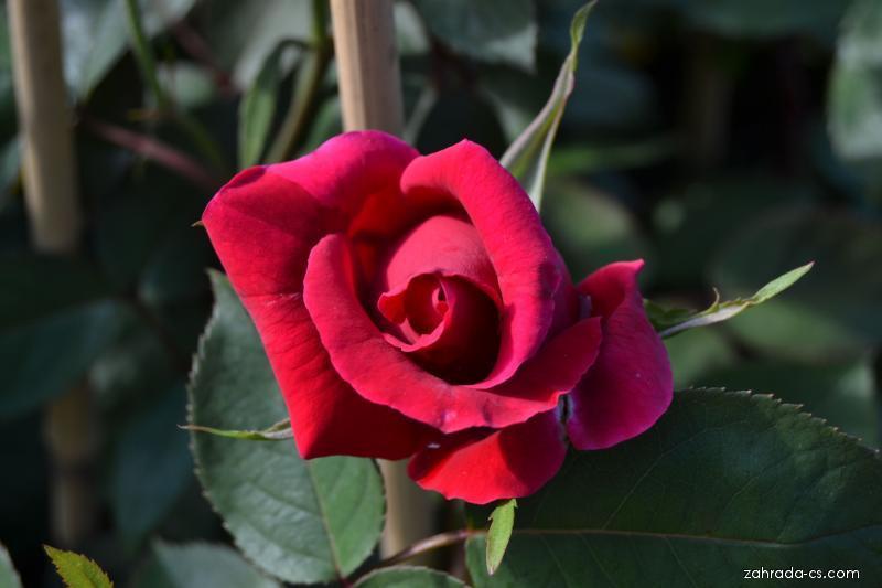 Růže Mazurka (Rosa)