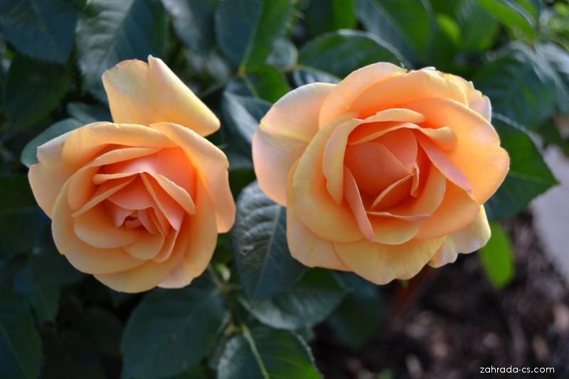 Růže (Rosa olympic)