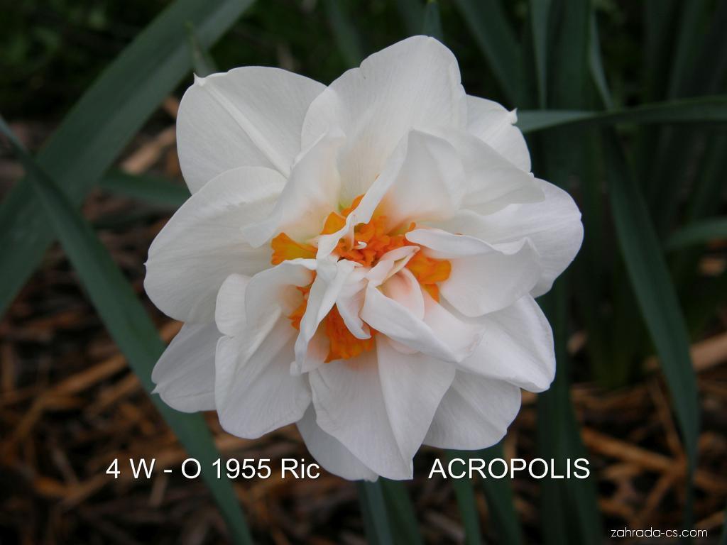 Narcis - Narcissus Acropolis