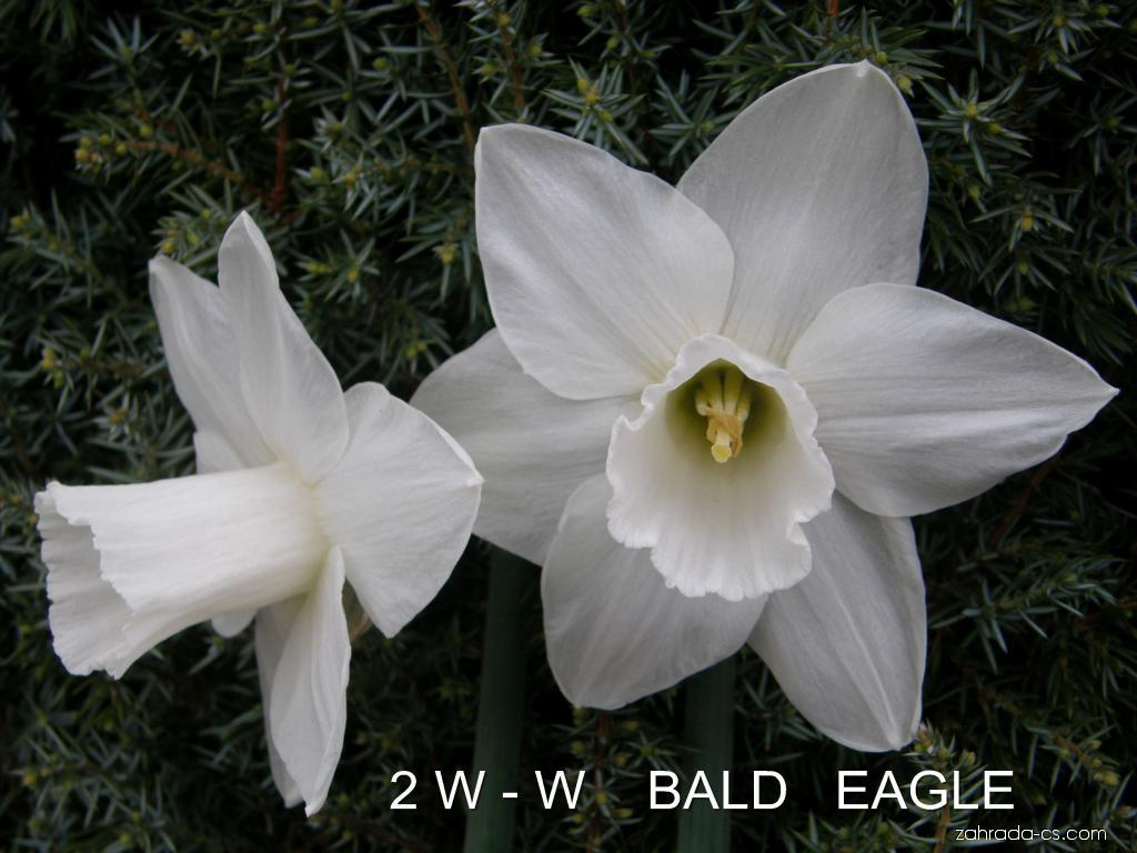 Narcissus Bald Eagle (narcis)