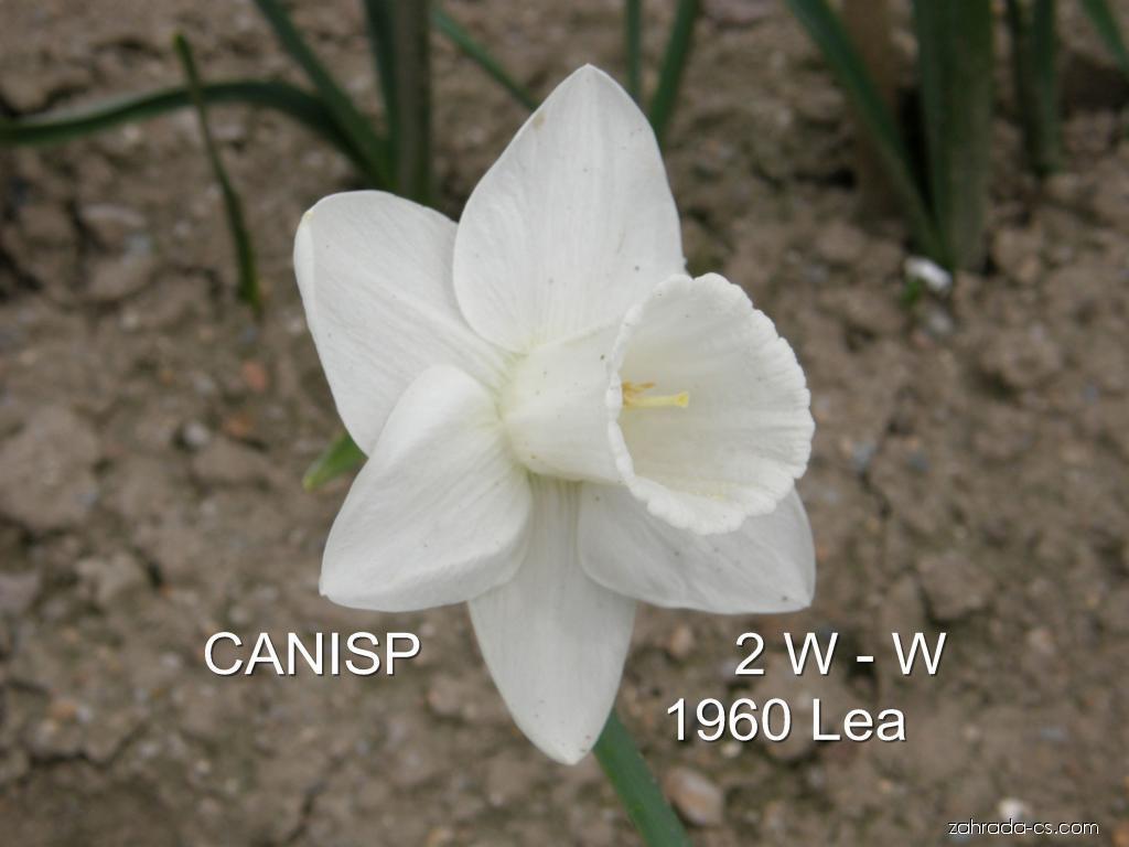 Narcis - Narcissus Canisp