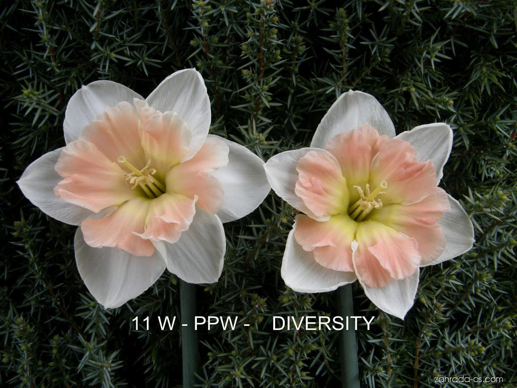 Narcis - Narcissus Diversity