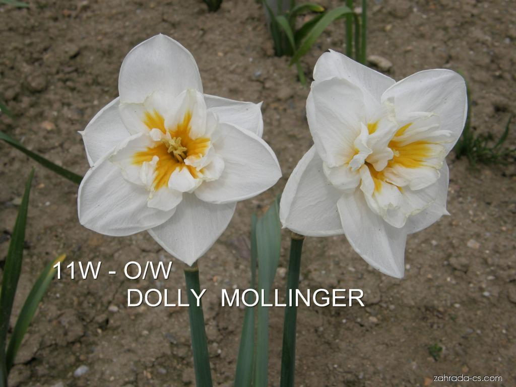 Narcis - Narcissus Dolly Mollinger
