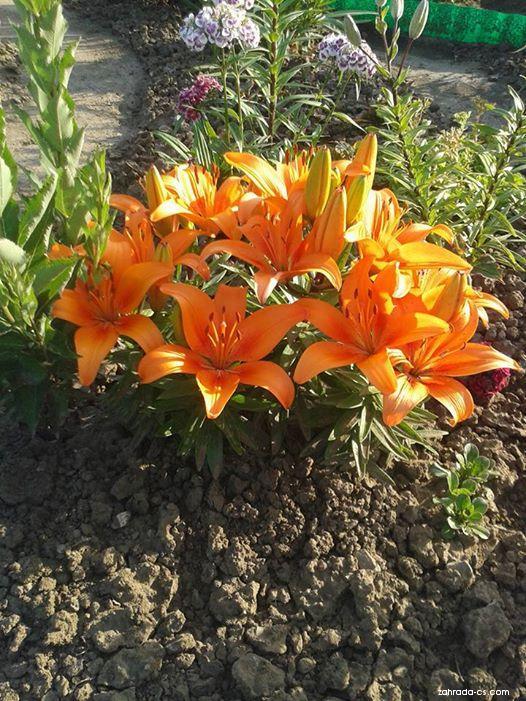 Lilie Tiny Invader - Asijské hybridy nízké (Lilium x hybridum)